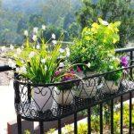 Balcony perennial plants